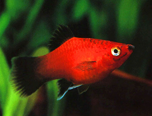 Colors Of The Nature as well Dempsy also Parrot Fish in addition Breeding Red Severum Cichlid further Red Wagtail Platy. on oscar cichlid gold